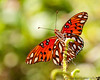 July 2, 2012 - a colorful day - the gulf fritillary ( thanks papa !)