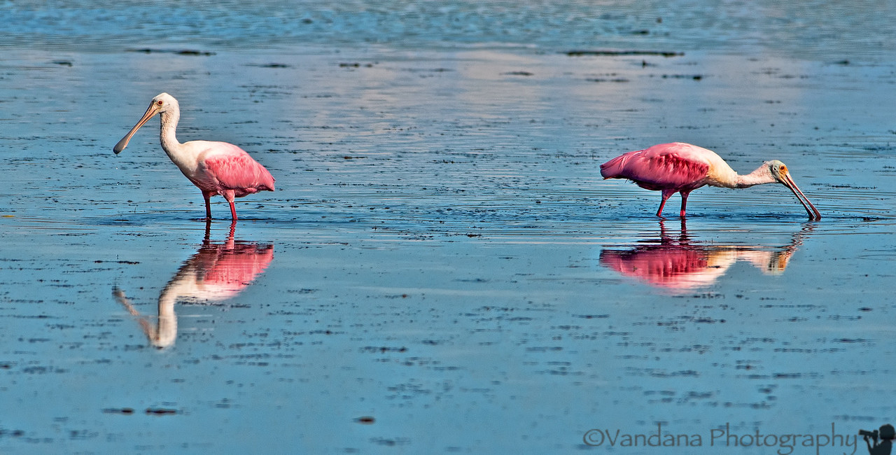 October 27, 2012 - Pink birds ( roseate spoonbills) -taken in Florida<br /> <br /> for THINK PINK Challenge for breast cancer awareness