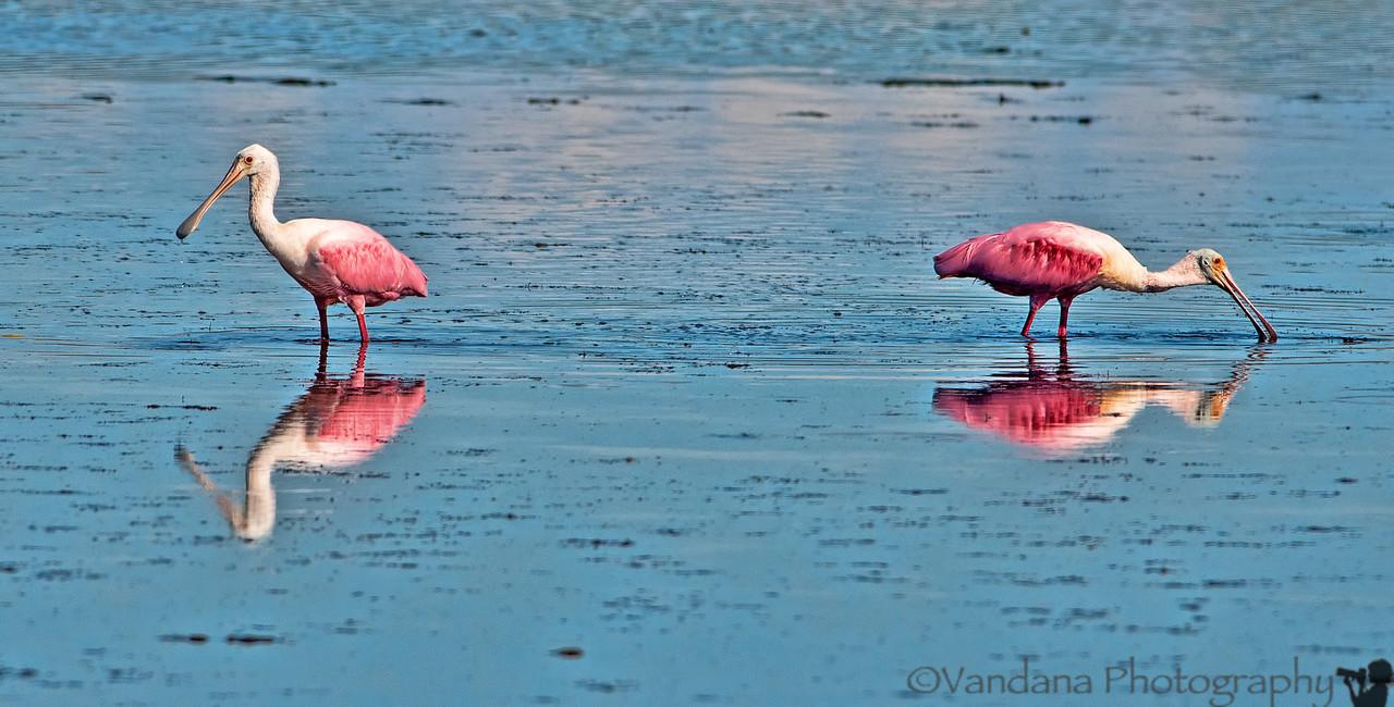 October 27, 2012 - Pink birds ( roseate spoonbills) -taken in Florida<br /> <br /> for THINK PINK Challenge for breast cancer awareness
