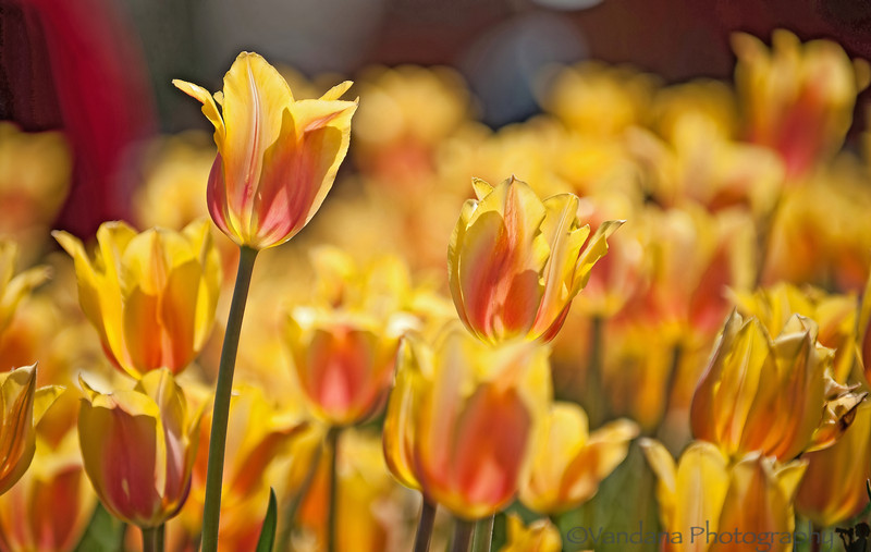 April 4, 2012 - Tulips, tulips, everywhere<br /> <br /> this one is actually from the archives - from Tulip Festival, Holland, MI 2011. I'll miss going there this year !