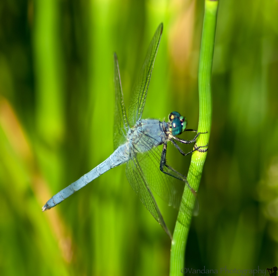July 21, 2012 - a dragonfly dance