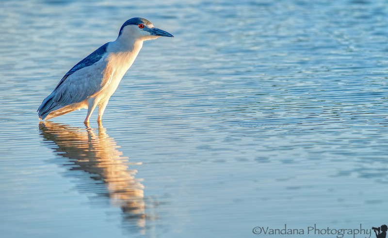 August 31, 2013 - H for Heron, night heron