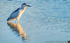 August 31, 2013 - H for Heron, night heron