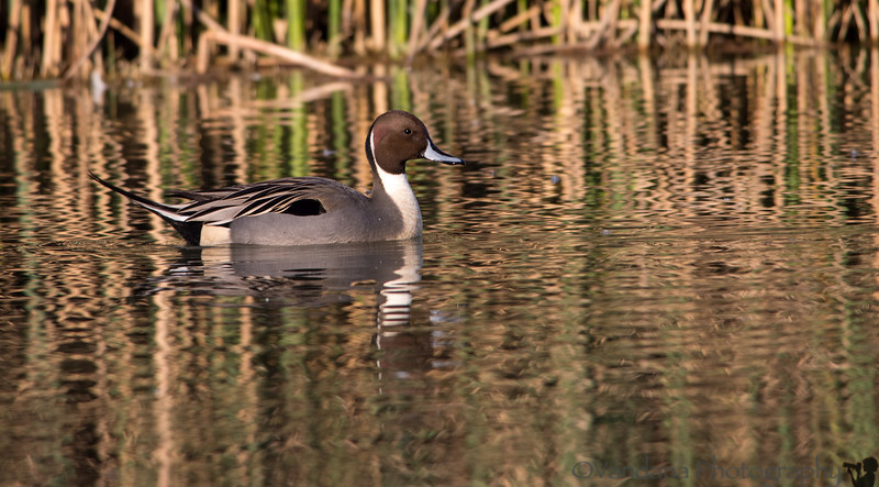 November 24, 2013 - the pintail duck, at Sacramento National Wildlife Refuge<br /> <br /> a trip over the weekend, to Sacramento NWR region to shoot the snow geese and ducks. About a million waterfowl migrate to this area during the winter.