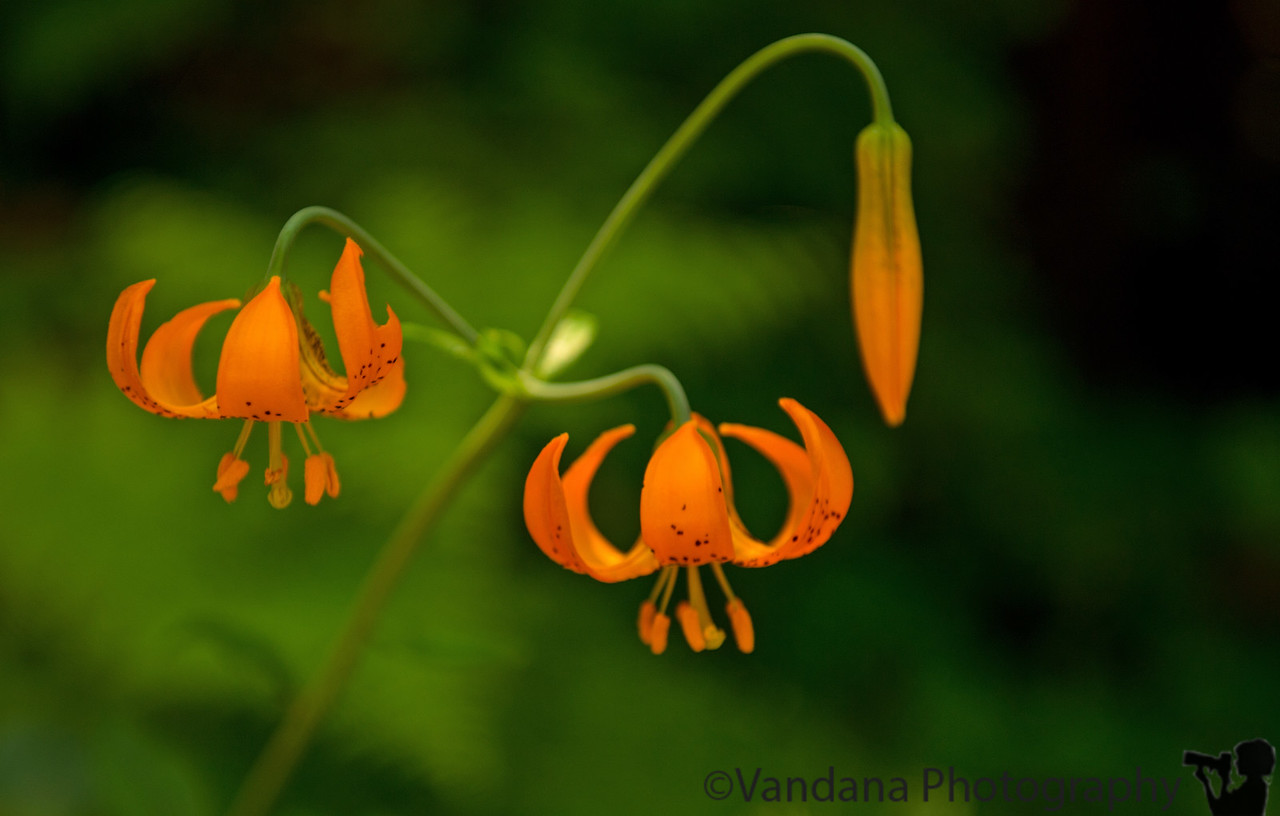 July 12, 2013 - lovely little orange flowers in Redwood National Park - don't know the name