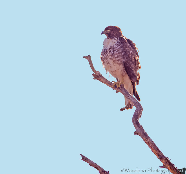 November 27, 2013 - Hawk at Sacramento NWR