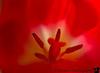 February 18, 2013 - Inside a tulip