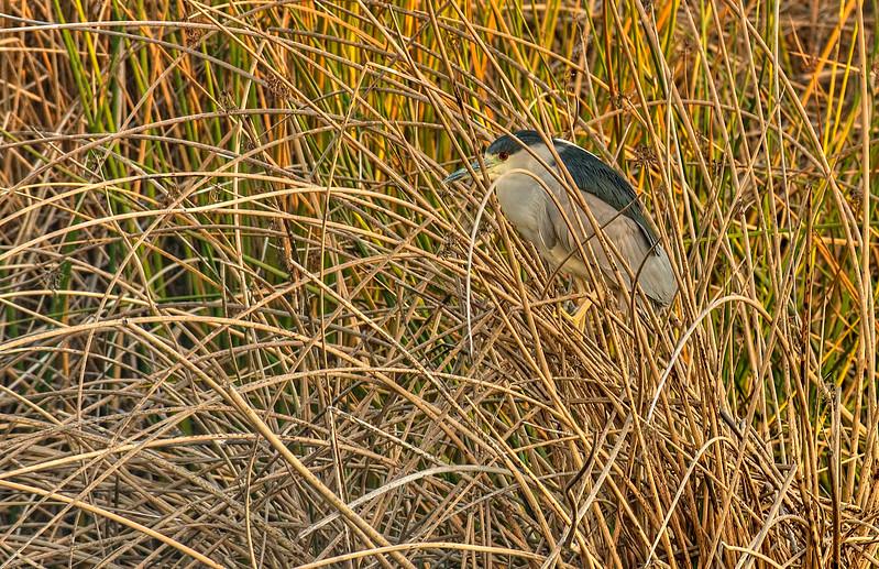 February 26, 2013 - Night heron at Heather Farm Park, Walnut Creek