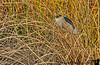 February 26, 2013 - Night heron at Heather Farm Park, Walnut Creek