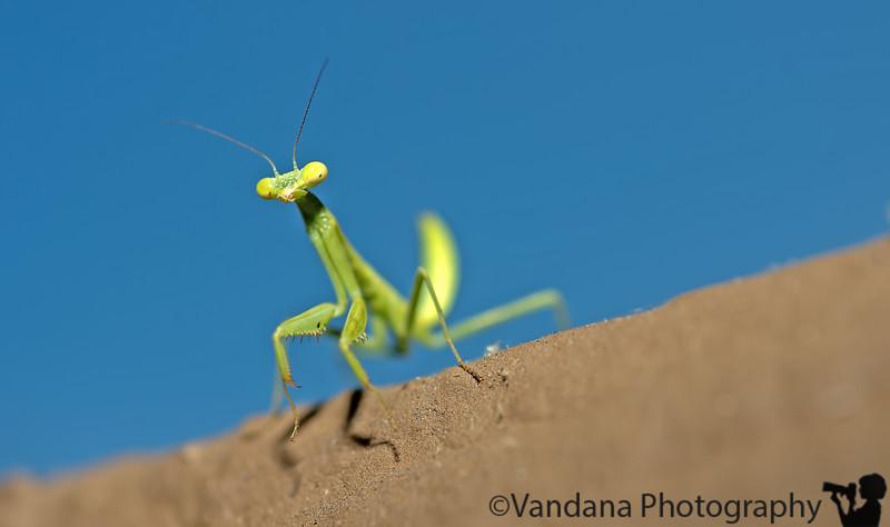 June 13, 2013 - a baby Praying mantis