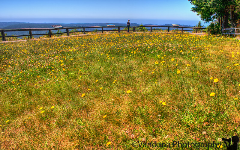 July 25, 2013 - A bed of dandelion flowers