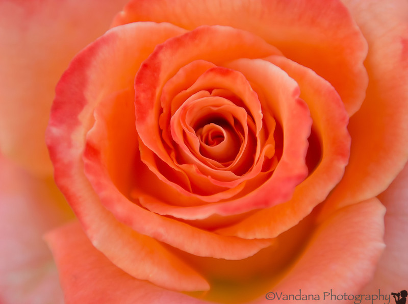 August 5, 2013 - a rose