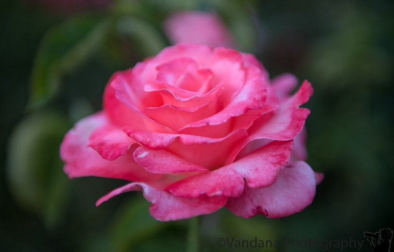 July 28, 2013 - Lush pink