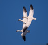 December 5, 2013 - Snow geese in flight, Sacramento NWR