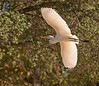 October 30, 2013 - Egret in flight, Heather Farm Park