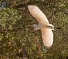 October 30, 2013 - Egret in flight, Heather Farm Park