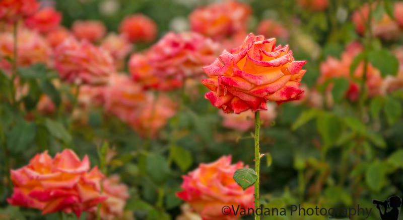 June 14, 2013 - Roses