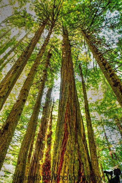 July 7, 2013 - Tall, tall redwood trees