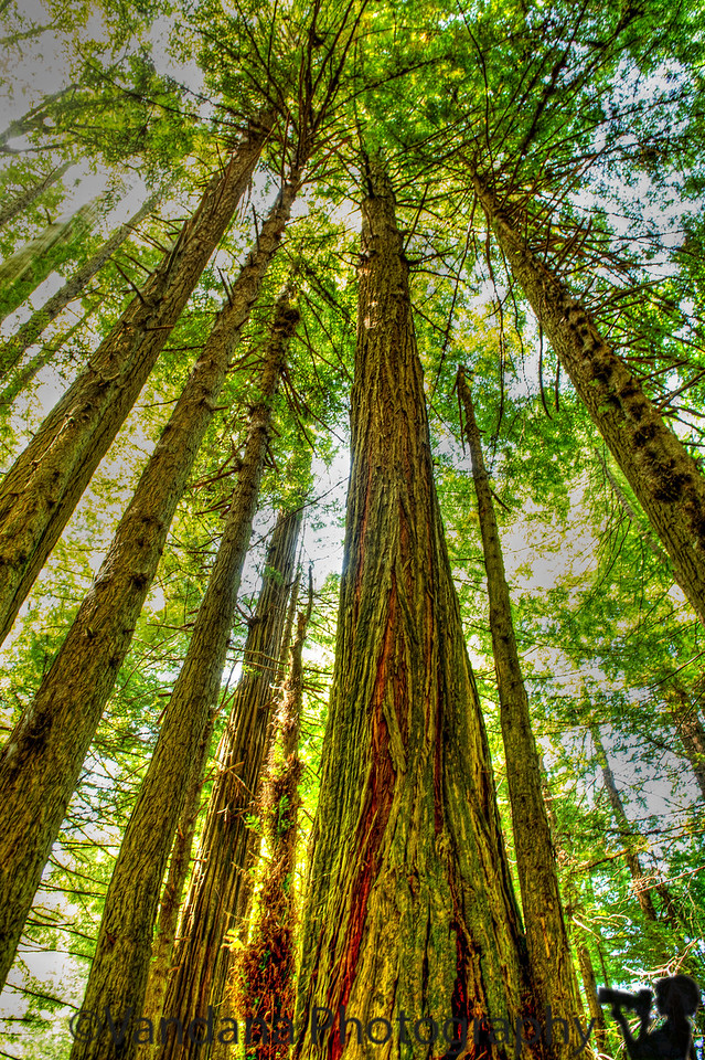 July 7, 2013 - Tall, tall redwood trees