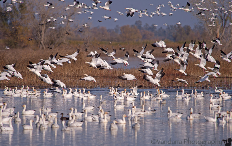November 26, 2013 - Snow geese take-off, Sacramento National Wildlife Refuge