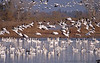November 26, 2013 - Snow geese take-off, Sacramento National Wildlife Refuge