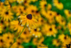 July 27, 2013 -  Black-eyed Susan - one among many