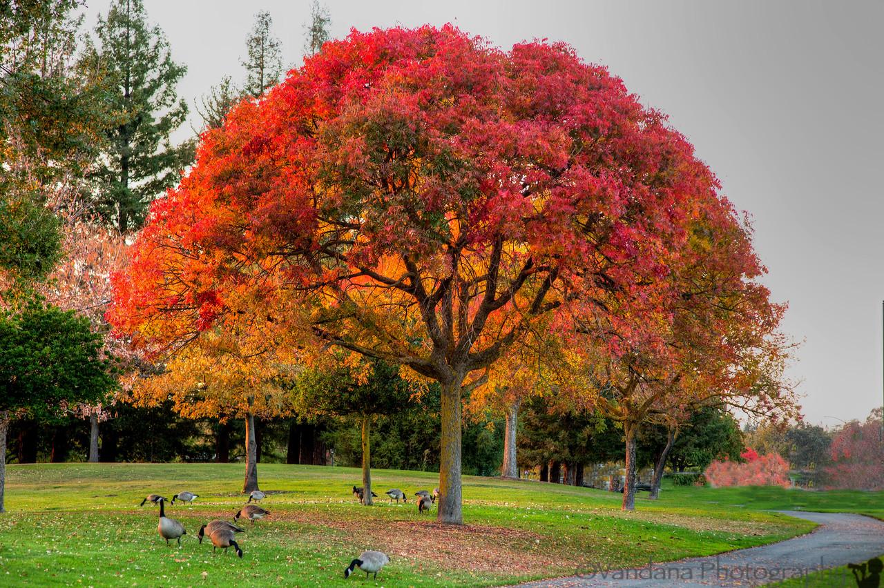 November 9, 2013 - Fall tree at Heather Farm Park