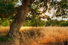 June 7, 2013 - My new favorite tree, Heather Farm Park, Walnut Creek<br /> <br /> Life is good when you find your favorite tree :) ! Yes, she will be photographed in every season, in every mood !