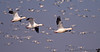 November 25, 2013 - Snow geese in flight, at Sacramento National wildlife refuge