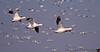 November 25, 2013 - Snow geese in flight, at Sacramento National wildlife refuge