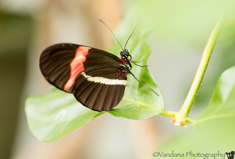 August 23, 2013 - at the Tropical butterfly pavilion, Pacific Science Center, Seattle