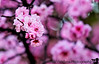 February 25, 2013 - Pink blossoms !