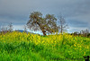 March 16, 2013 - In a field of yellow mustard flowers, at Heather Farm Park, Walnut Creek