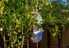 September 15, 2013 - Jennifer, the traveling bra hangs out in the backyard lemon tree