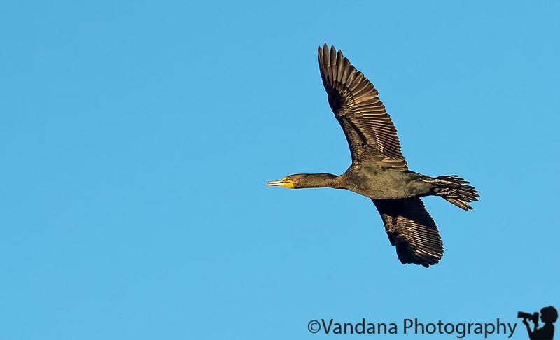 March 2, 2013 - A cormorant in flight, Heather Farm Park, Walnut Creek