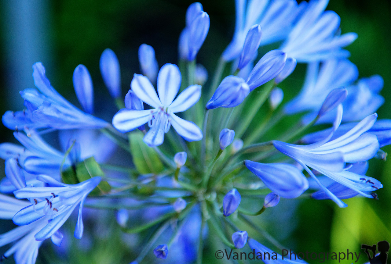 July 1, 2013 - the purple agapanthus - all over the East bay