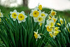 March 1, 2013 - a host of golden daffodils