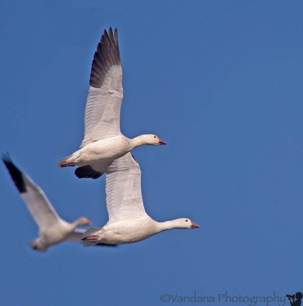 December 13, 2013 - Snow geese  in flight  at Sacramento NWR