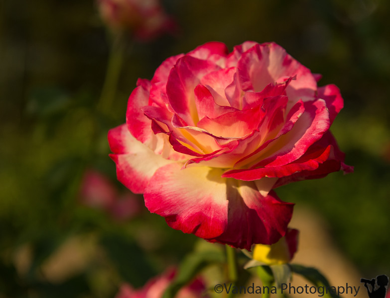 May 26, 2013 - a rose in evening light