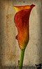 June 4, 2013 - the Calla lily.. and some play with textures