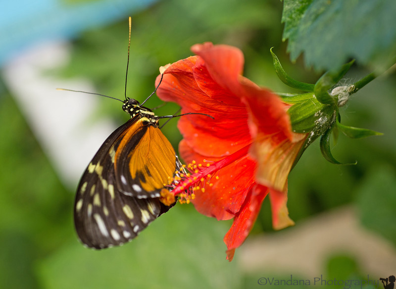 August 25, 2013 - butterfly on hibiscus