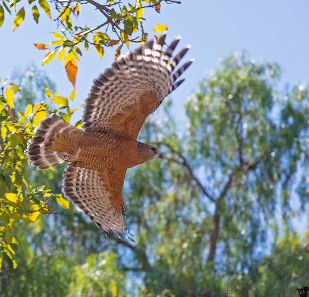 October 16, 2013 -a hawk takes flight, Heather Farm Park