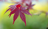 June 27, 2014 - Red leaves in summer