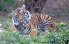 December 26, 2014 - Tiger roar at San Diego Safari Park
