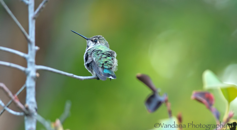 August 8, 2014 - Hummingbird in the backyard