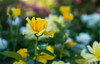 August 15, 2014 - a field of yellow<br /> <br /> so many flowers in bloom at the Heather Farm gardens, a beautiful time to visit