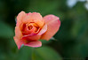 July 20, 2014 - roses at Heather Farm Gardens