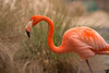 February 7, 2014 - Flamingo from Sacramento Zoo