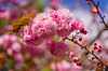 March 31, 2014 - Spring pink