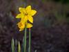 April 15, 2014 - Spring daffodils